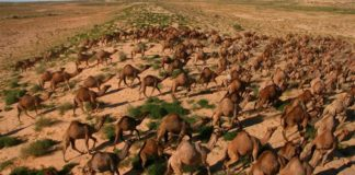 Camels killed in australia, south australia, camel drink water, australia fire, australia bushfire, australia forest fire, ऑस्ट्रेलिया आग, ऑस्ट्रेलिया के जंगल में आग, जंगली ऊंट, ऑस्ट्रेलिया ऊंट, weird news, strange news